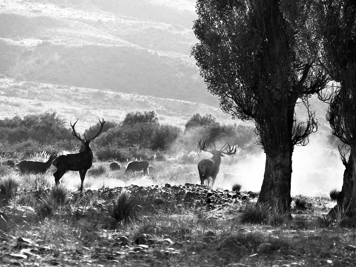 Red Stag on the Caleufu River