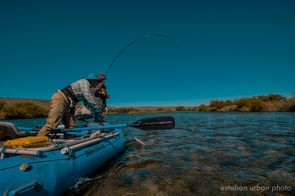 Netting a solid Rainbow Trout on the Chimehuin River - Patagonia Argentina.